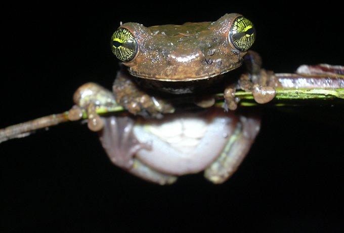 osthecephalustaurinus.jpg